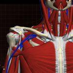 鎖骨付近と肩のコリが生み出す首の痛み/ 首の痛みや違和感の治し方研究